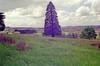 Narre Warren The Elms 15- Oatlands-  araucaria- 1996-Nov -2 prints  056