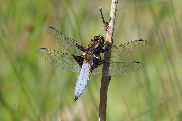 IMGP9328c Broad-bodied Chaser, Monks Wood, May 2020