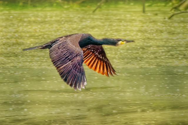 A cormorant flying over the green Waggelwater