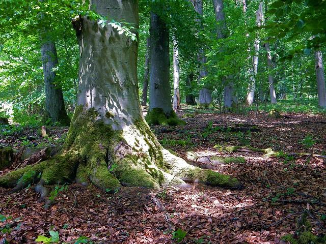 Lichter und Schatten im Buchenwald
