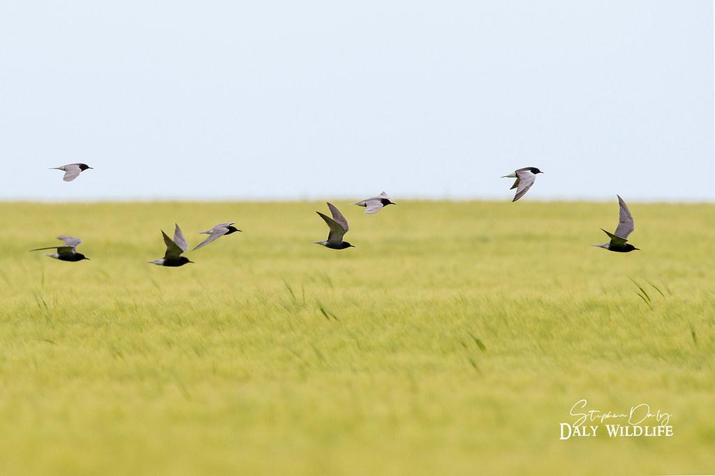 Black Terns (Chlidonias niger) wheat field Romania_w_1664