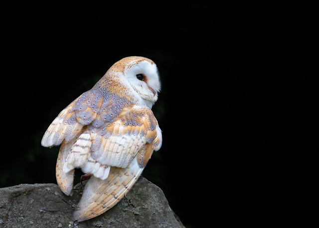 Barn Owl (Tyto alba) 0665