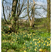Daffodil wood, Hatchbank Road