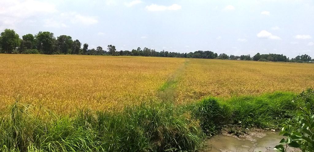 Lúa giống Cần Thơ 0915 326788