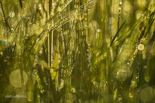Dauwdruppels in het gras / Dewdrops in the grass