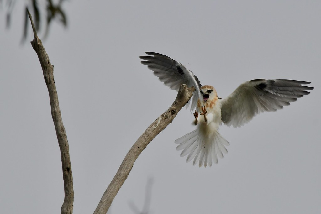 Black - Shouldered Kite ( No ! luck this  time )