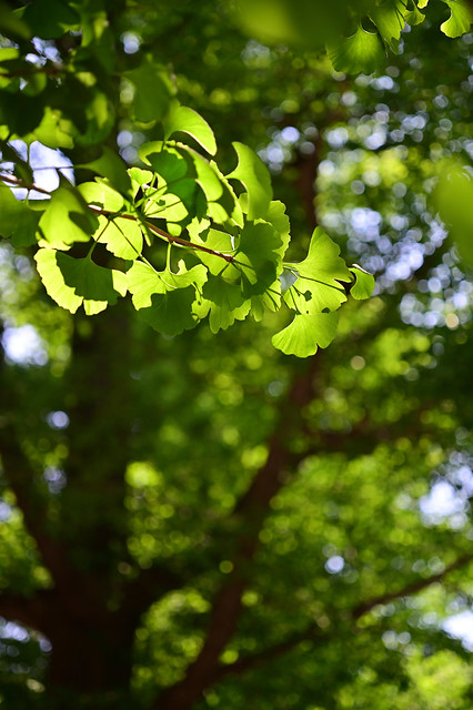 Young green leaves of ginkgo in neighborhood,Hiyoshi town,Yokohama city 2020/05 No.1.