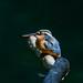 Kingfisher -202005290302.jpg
