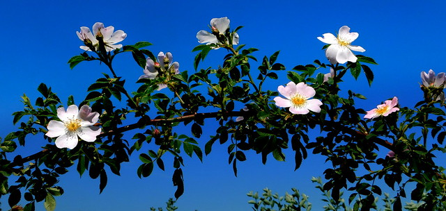 Dzikie róże.