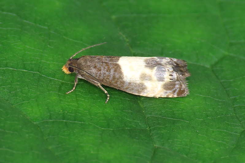 49.292 Yellow-faced Bell - Notocelia cynosbatella