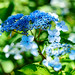 Hydrangea serrata : ヤマアジサイ