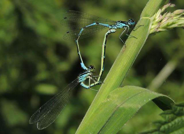 Variable Damselfly (Coenagrion pulchellum) Pair