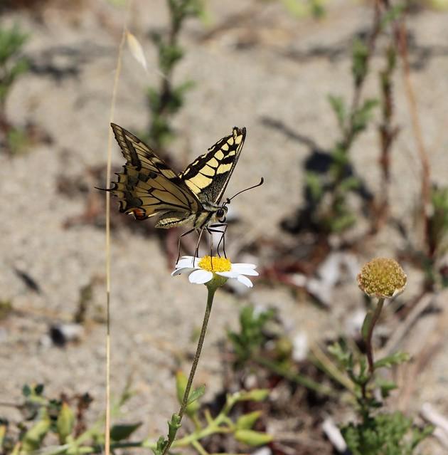 Papillon machaon a la playa
