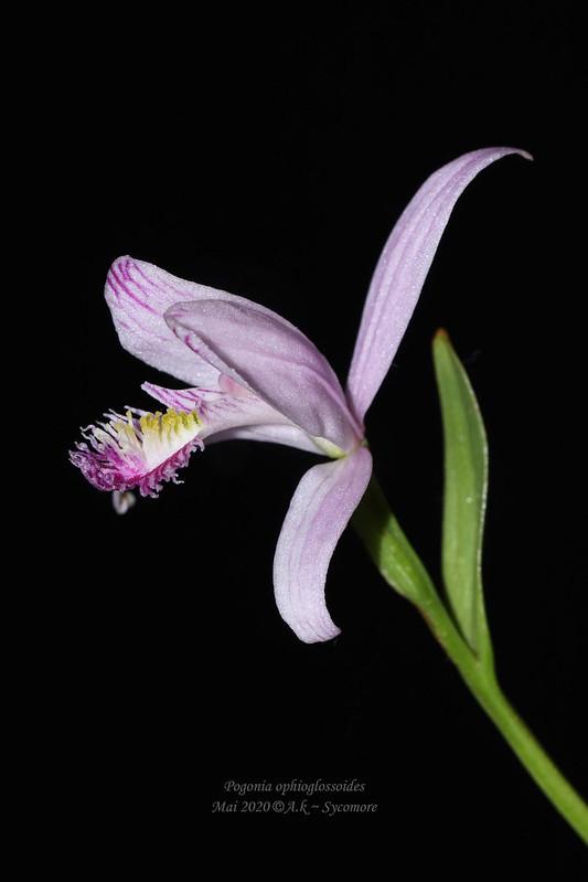 Pogonia ophioglossoides 49948365021_2515686282_c