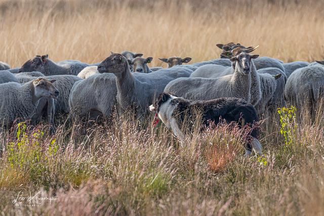 Flock of sheep | Schaapskudde