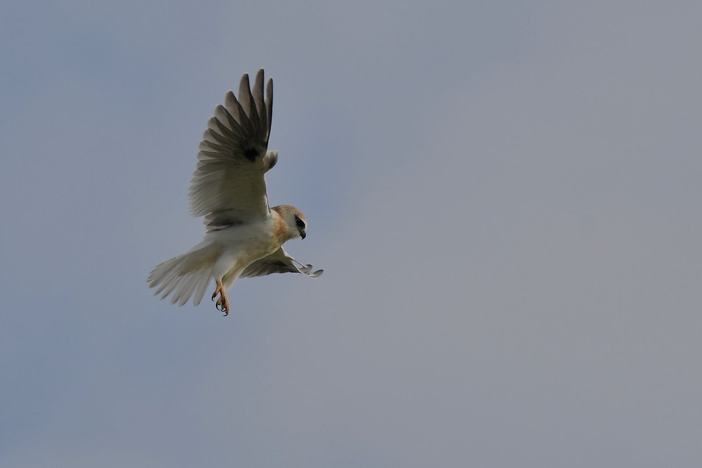 Black - Shouldered Kite ( working hard  and  looking  for food )