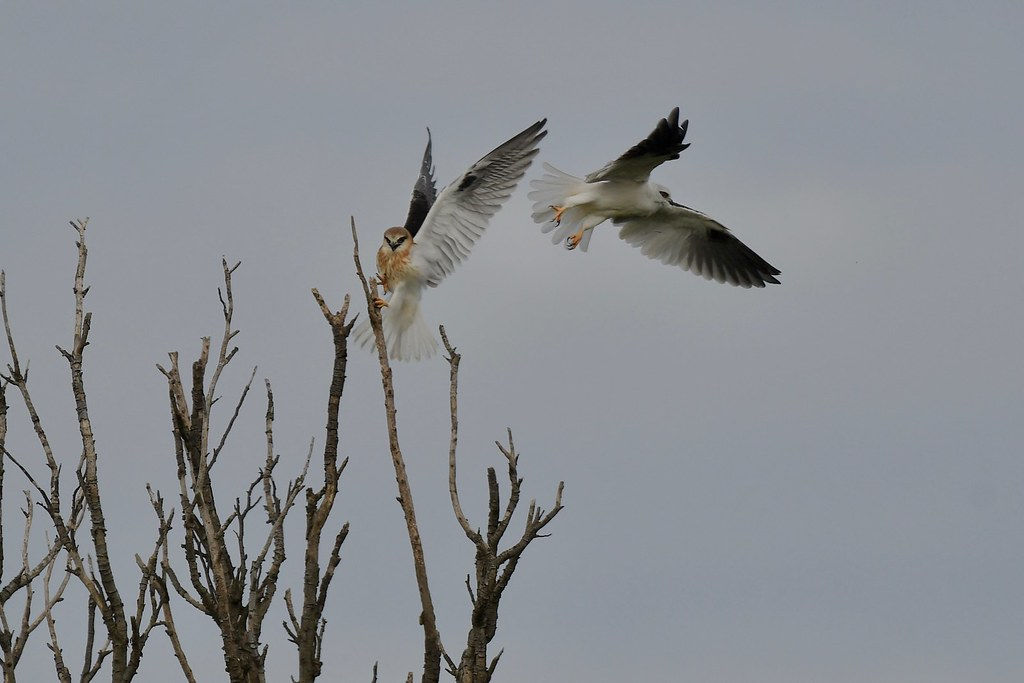 Black - Shouldered Kites ( Mum  is leaving )