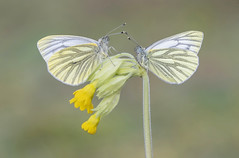 Green-veined White (Pieris napi).