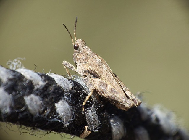 Tetrix undulata Common Ground-hopper
