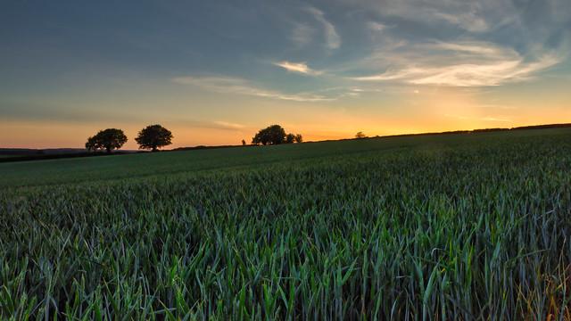 Wheat Crop Sunset