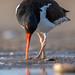 American Oystercatcher - Haematopus palliates | 2020 - 4