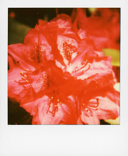 Red Rhododendron | by @necDOT