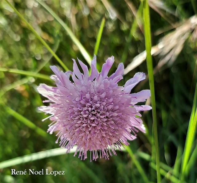 fleurs des champs à Jacou Hérault