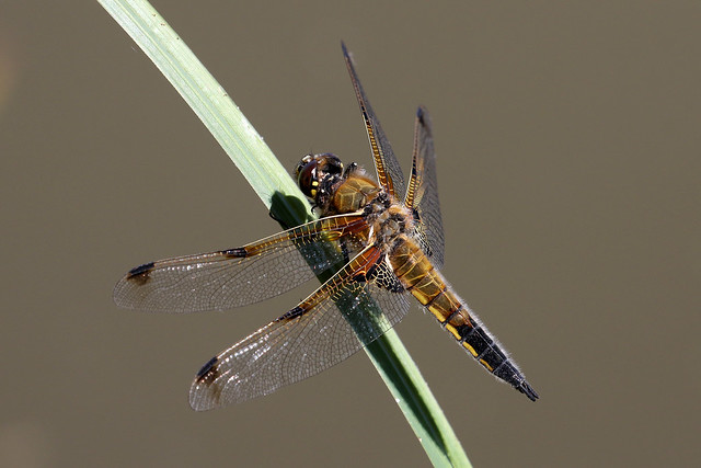 Four-spotted Chaser ♂ Libellula quadrimaculata