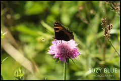 Tortoiseshell Butterfly on Scabious