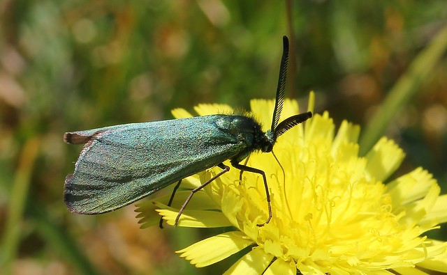 Forester Moth 280520 (2)