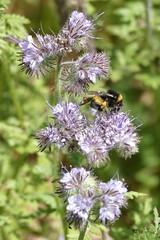 Hummel im Garten bumblebee in Switzerland