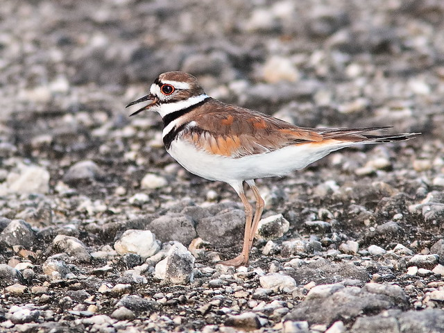 Killdeer 02-20200529