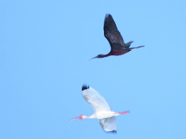White and Glossy Ibises 2-20200529