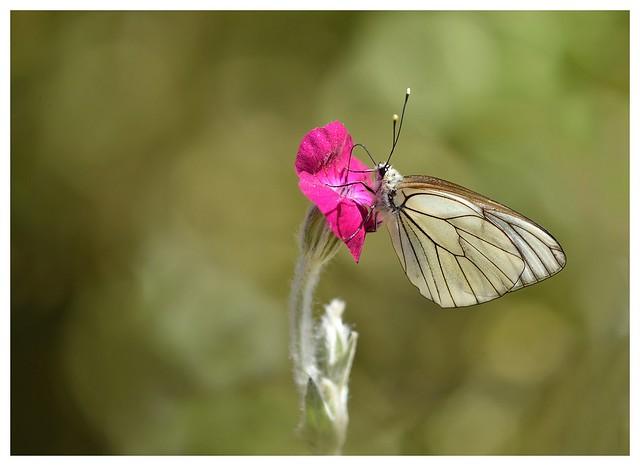 Papillon gazé- DSC 9341 290520_200529_GF