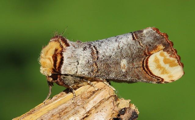 Buff-tip Moth - Phalera bucephala 290520 (3)