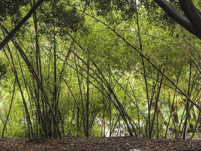 Paseo de bambú en el Parque. Bamboo pathwalk at the Park