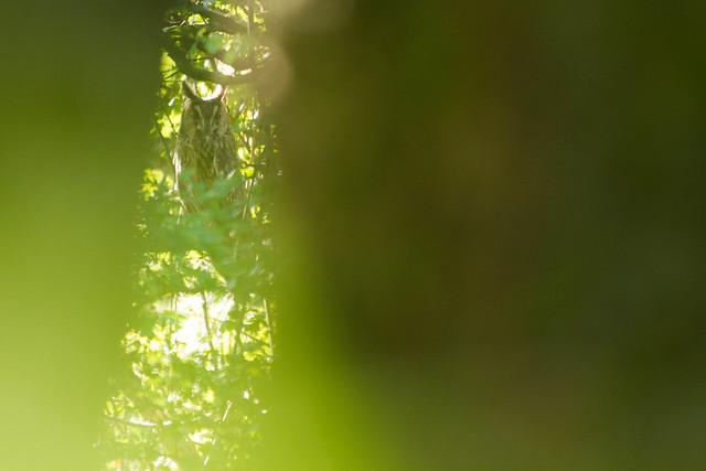 Hibou moyen-duc - Asio otus