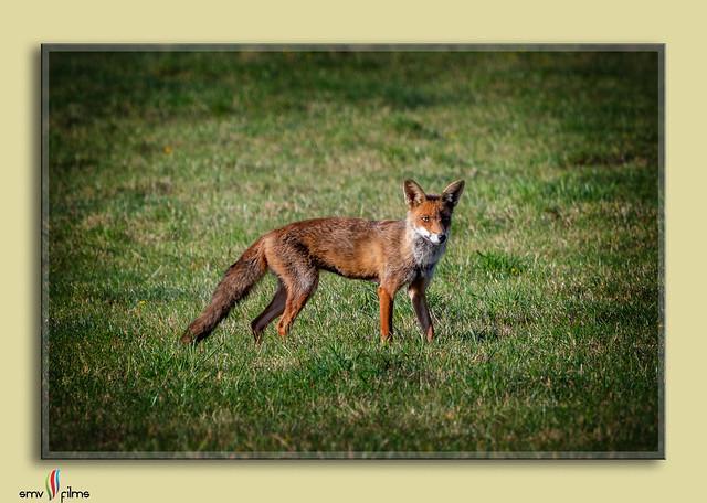 Foxy returns