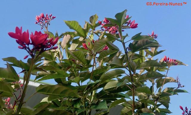 Peregrina, Spicy Jatropha, Suriname