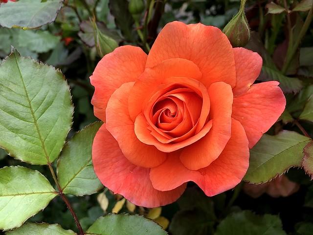Happy weekend 🙋♂️🌹My rose ❤️