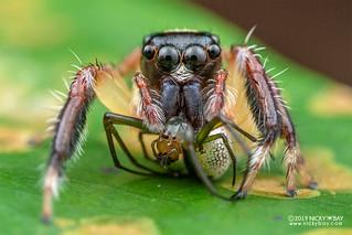 Jumping spider (Pancorius sp.) - DSC_7958
