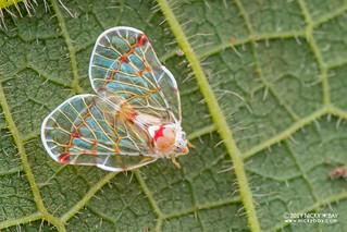 Planthopper (Derbidae) - DSC_7939