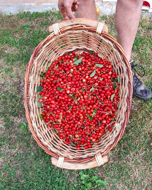 Today cherry picking. This and much more at #PodereSantAlessandro 🍒 . . . #BorghettoMontalcino #loveisborghetto #montalcino #tuscany #valdorcia #bestplacetogo #places_wow #placestotravel #holidayintuscany #topdestinations #travelgram #bbctravel #