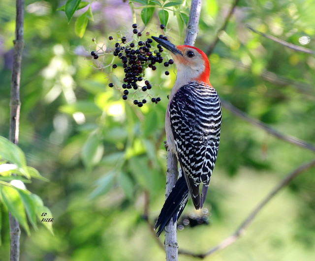 The RED-BELLIED WOODPECKERS, this one a male, love the ripe Elderberries at Bok Tower Gardens Lake Wales Florida USA 5/29/20