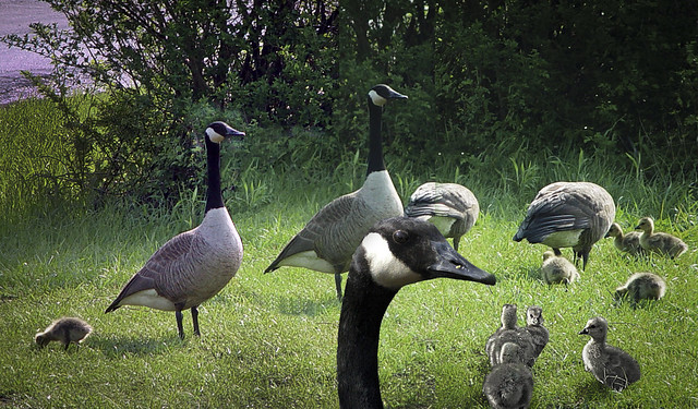 Goose Motherhood