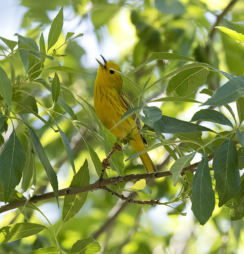female_summer_tanager-20200529-107