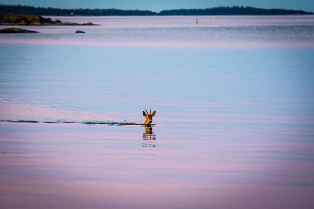 Capricorn swims in the evening in a sea