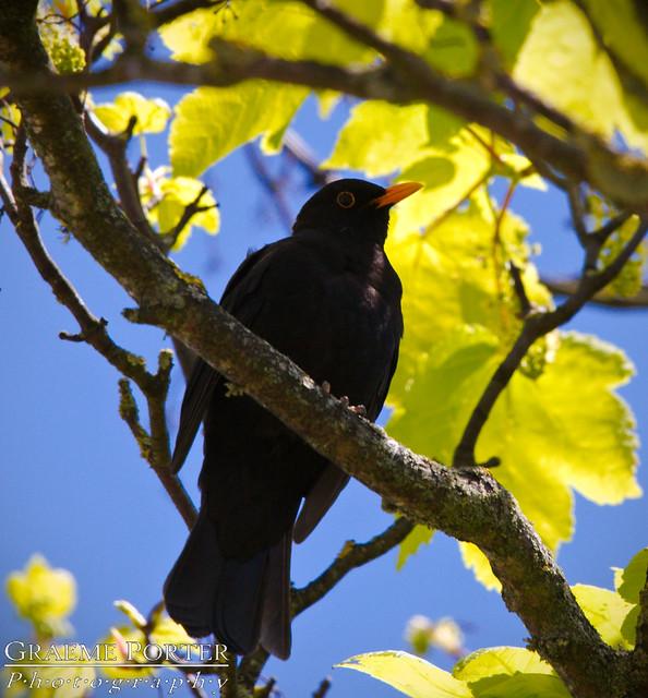 Common Blackbird (Male) - IMG_2323 - Edited