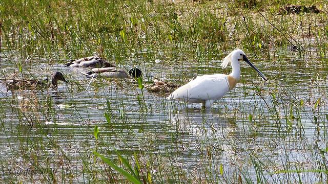 """Lepelaar en eenden - Spoonbill and ducks. Nature area """"De Groene Grens""""."""
