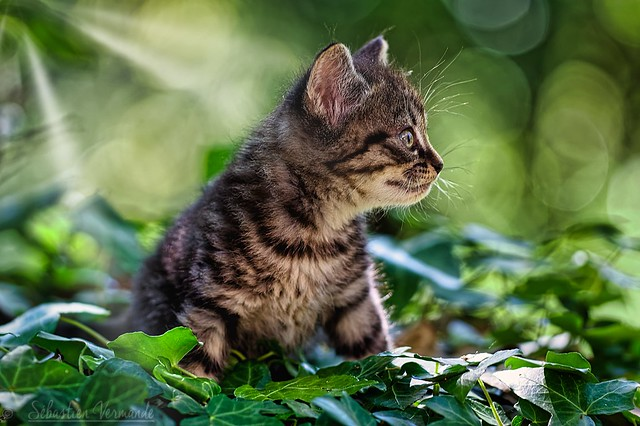 Kitten too cute - Chaton trop mignon